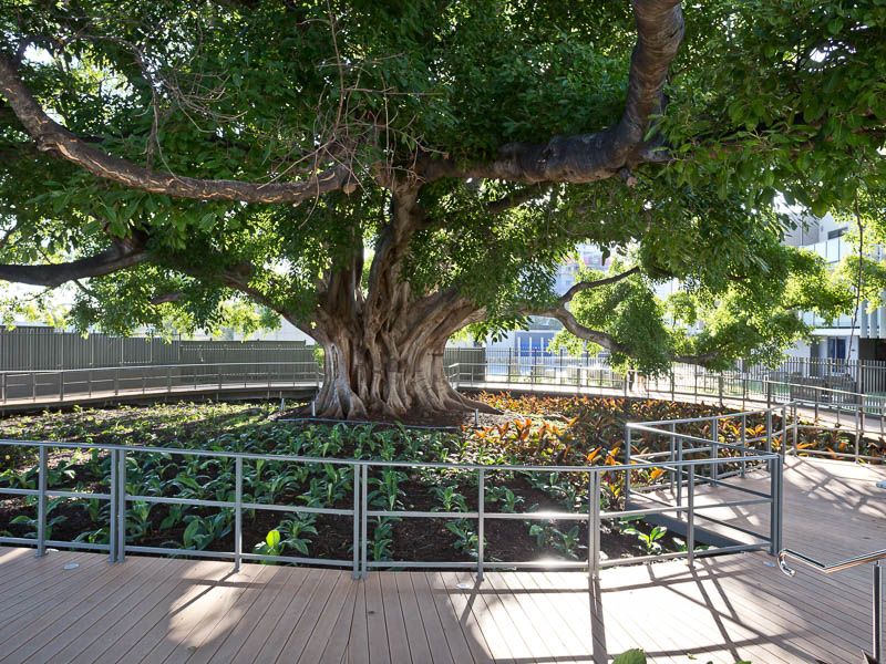 130 year old White Fig Tree